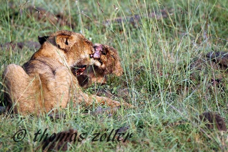 30.01.2015 - game drive masai mara kenya ** foto © thomas zöller ** foto ist honorarpflichtig! ** auf anfrage in hoeherer qualitaet/aufloesung
