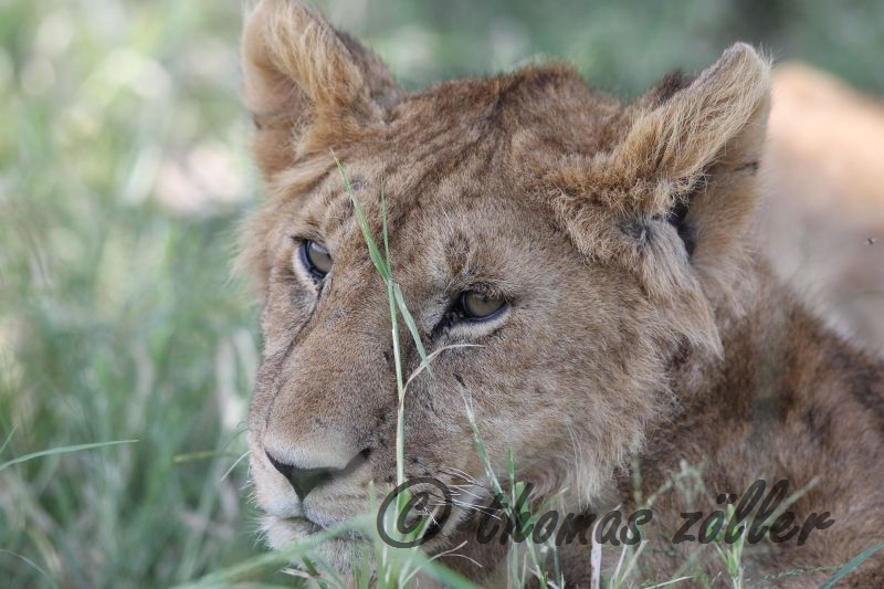 Juli.2015 - game drive kenia masai mara ** foto © thomas zöller ** foto ist honorarpflichtig! ** auf anfrage in hoeherer qualitaet/aufloesung
