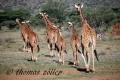 12.04.2015 - Samburu - Kenya